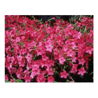 Pink Flowering Tobacco (Nicotiana Alata) flowers Post Cards