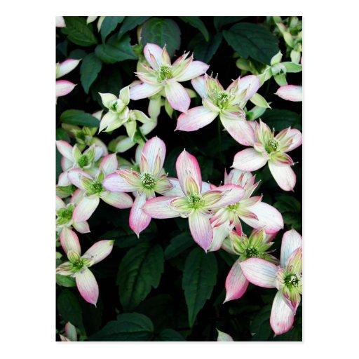 Pink flowers. Clematis. Postcard