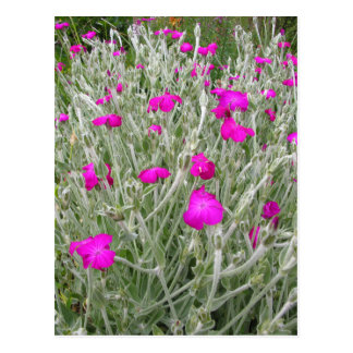 Pink Flowers-Rose campion in an English Garden Postcard