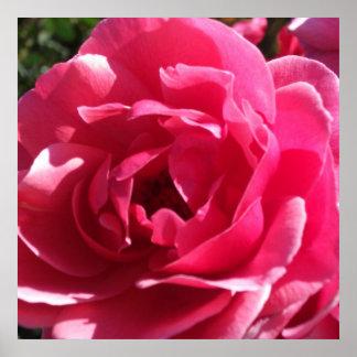 Pink  Full-Blown Rose Poster
