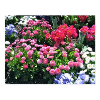 Pink Garden Mums Postcard