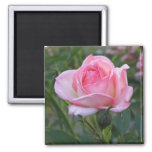 Pink Garden Rose 2 Fridge Magnet