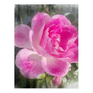 Pink Garden Rose Postcard