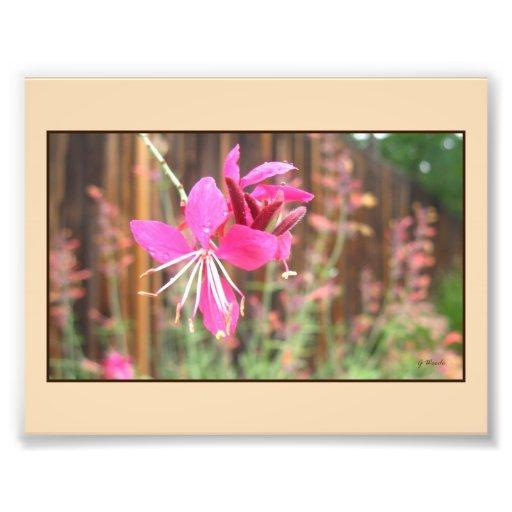 Pink Gaura Blooming Photo Print