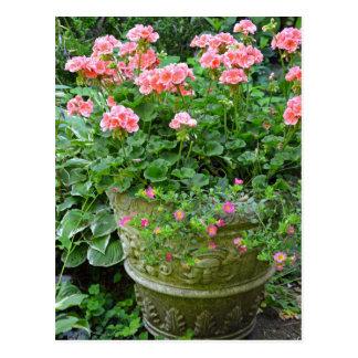Pink geranium flower planter postcard