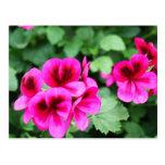 Pink Geranium Postcard
