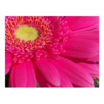 Pink Gerber Daisy Post Cards