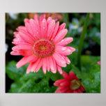 Pink Gerber Daisy Print