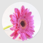 pink gerber on white classic round sticker