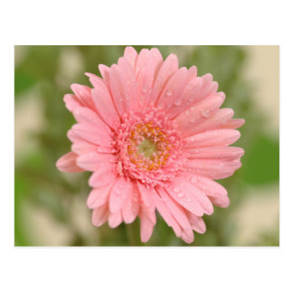 Pink Gerbera Daisy Flower - Hello Miss You, Love Postcard