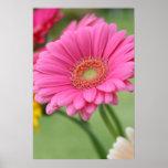 Pink Gerbera Daisy Poster Print