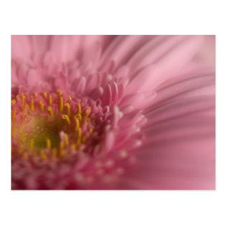Pink Gerbera • Postcard
