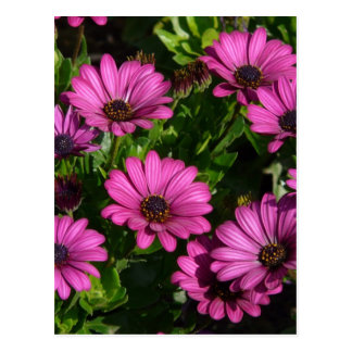 Pink Gerbera Postcards