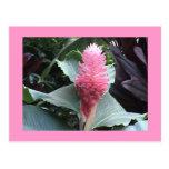 Pink Ginger Postcard