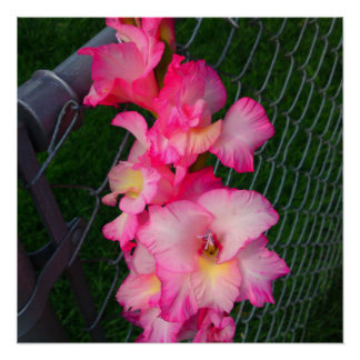 Pink Gladiola flower Perfect Poster