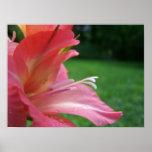 Pink Gladiola Poster 01