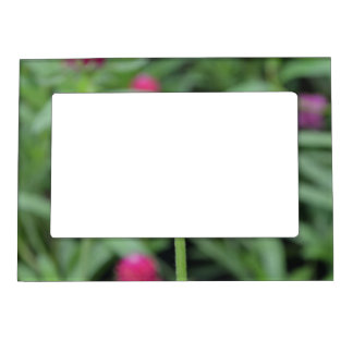 Pink Gomphrena Flower Photo Frame Magnet
