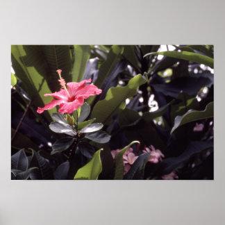 Pink Hawaiian Hibiscus Poster