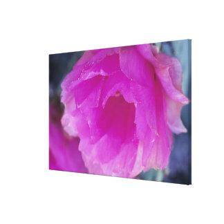 Pink Hedgehog Cactus blossom (Echinocereus Canvas Print