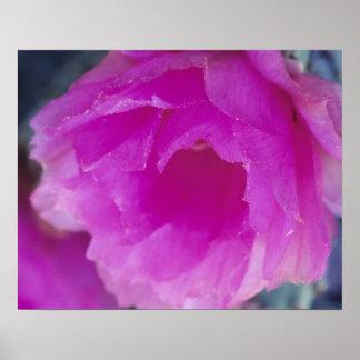 Pink Hedgehog Cactus blossom (Echinocereus Poster