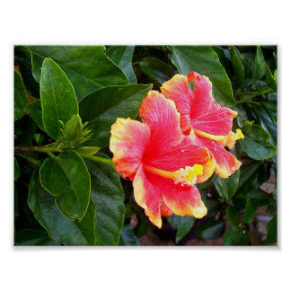 Pink hibiscus, evergreen and of delicate beauty poster