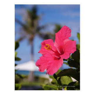Pink hibiscus flower post card