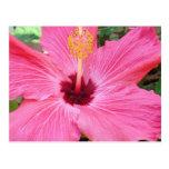 Pink Hibiscus Postcard