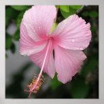 Pink Hibiscus Poster Print
