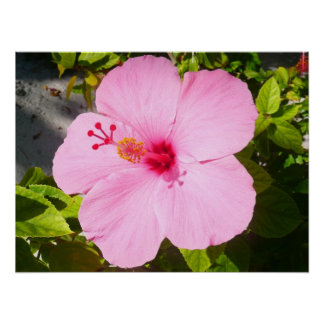 Pink Hibiscus Tropical Flower Poster