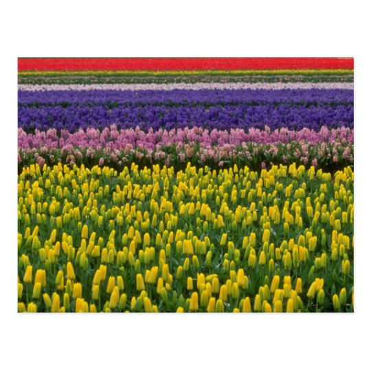 Pink Holland in springtime flowers Postcard