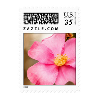 Pink Home Run Rose with Yellow Postage Stamp
