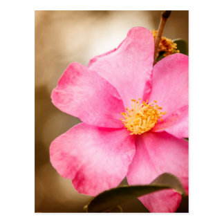 Pink Home Run Rose with Yellow Postcard