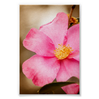 Pink Home Run Rose with Yellow Poster
