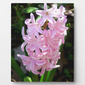 Pink Hyacinth Flowers Photo Plaques