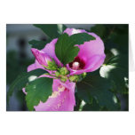 Pink Hybiscus with bud Greeting Card
