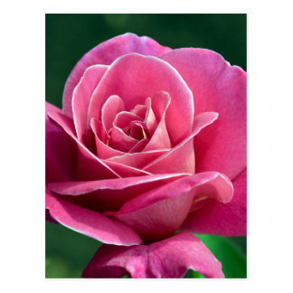Pink Hybrid Tea Rose Postcard