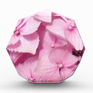 Pink Hydrangea blooms Award