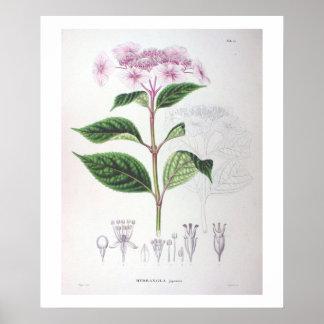 Pink Hydrangea Botanical Drawing Poster Print