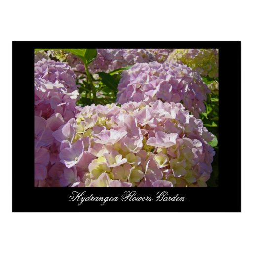Pink Hydrangea Flowers art prints Botanical Poster