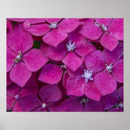 Pink Hydrangea Flowers Print