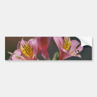 Pink Inca Lily flowers and meaning Bumper Sticker