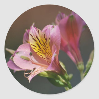 Pink Inca Lily flowers and meaning Classic Round Sticker