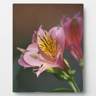 Pink Inca Lily flowers and meaning Photo Plaques
