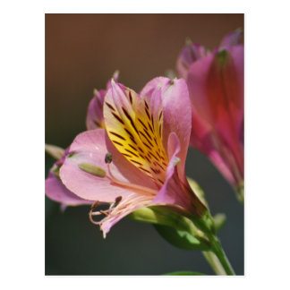Pink Inca Lily flowers and meaning Postcard