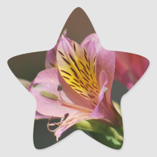 Pink Inca Lily flowers and meaning Star Sticker