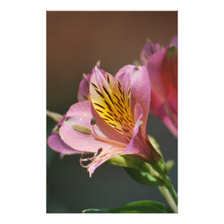 Pink Inca Lily flowers and meaning Stationery