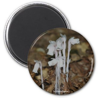 Pink Indian Pipe Mushrooms Nature Photo Magnet magnet