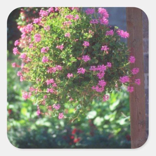 Pink Ivy Geranium (Pelargonium Peltatum) flowers Square Sticker