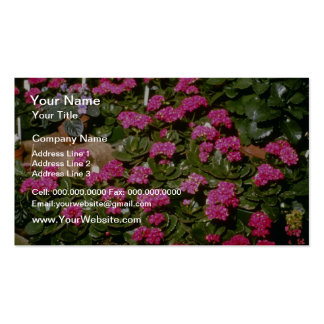 Pink Kalanchoe 'Solferinopurpur' flowers Double-Sided Standard Business Cards (Pack Of 100)