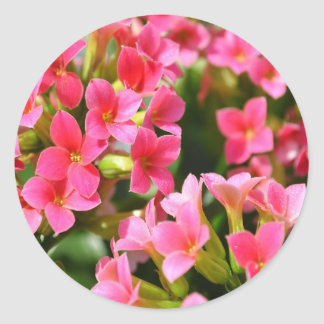 Pink Kalanchoes Classic Round Sticker